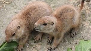 Erlebnis-Zoo Hannover mit Nachwuchs bei Präriehunden und Steppenzebras