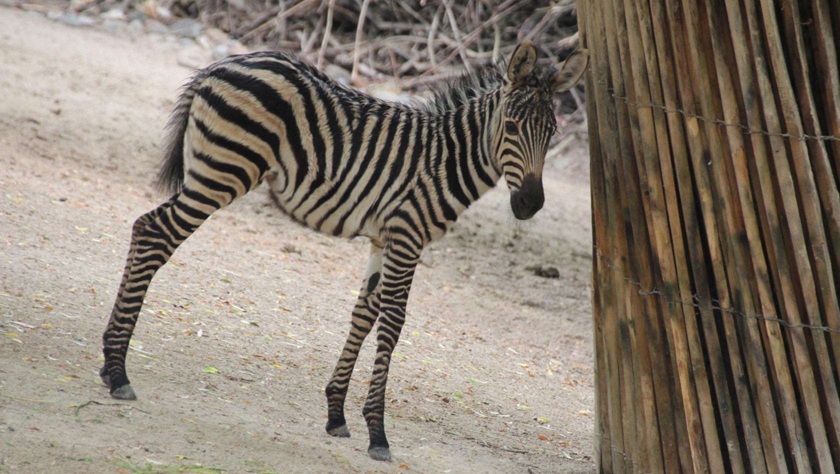 Steppenzebra-Baby im Zoo Hannover