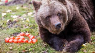"""Braunbärin """"Olga"""" in Hellabrunn ist tot: Trauer um 41-jährigen Bär in Münchner Tierpark"""