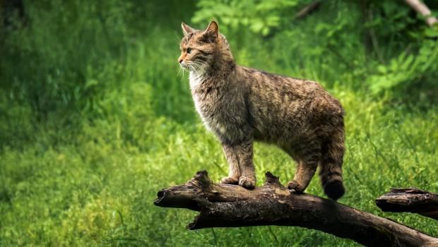 Wildkatze in Tripsdrill