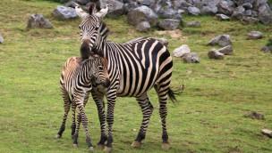 Zebrafohlen in der ZOOM Erlebniswelt geboren: Sechstes Jungtier von Zebrastute Farida