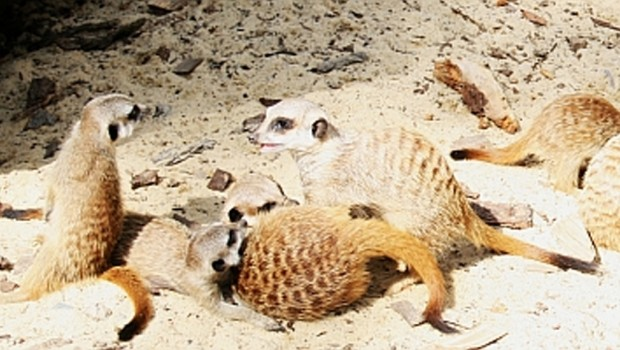 erdmaennchen-zoo-aschersleben