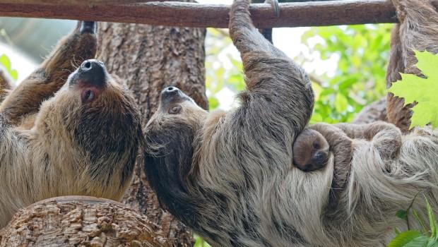 Faultier-Baby im Tierpark Hellabrunn 2018