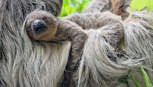 Tierpark Hellabrunn freut sich 2018 über ersten Faultier-Nachwuchs seit 4 Jahren