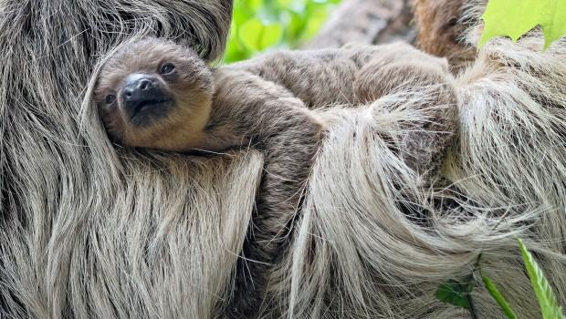 Faultier-Nachwuchs Tierpark Hellabrunn 2018