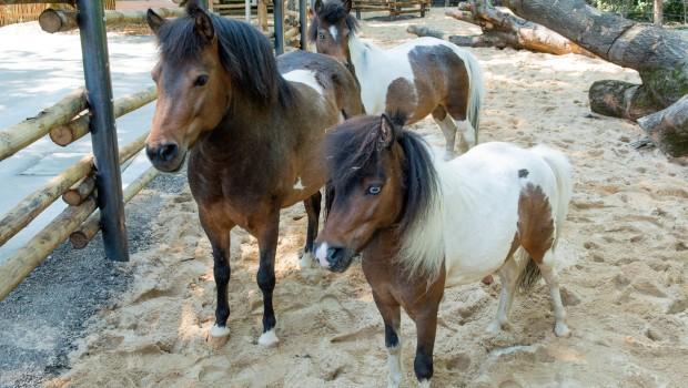 Hellabrunn Mühlendorf Ponys