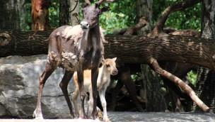 """Karibu-Baby im Erlebnis-Zoo Hannover: Nachwuchs in """"Yukon Bay"""" im Sommer 2018"""