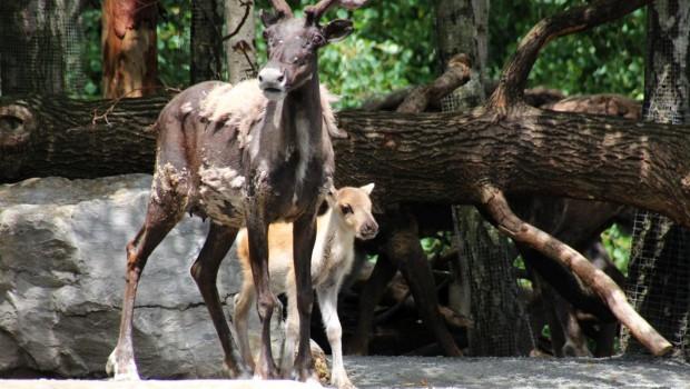 Karibu-Baby im Erlebnis-Zoo Hannover 2018