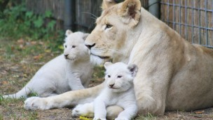 Löwen-Babys in Thüle - Freigehege 2018