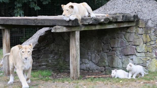 Löwen-nachwuchs in Thüle 2018 im Aussenbereich
