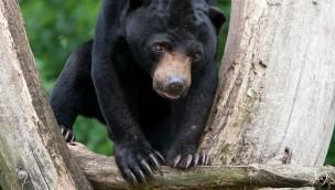 Transfer von Malaienbären zwischen Burgers' Zoo, Allwetterzoo Münster und Edinburgher Zoo startet