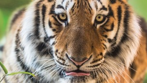 Tag des Tigers 2018 im Erlebnis-Zoo Hannover: Aktionstag am 29. Juli