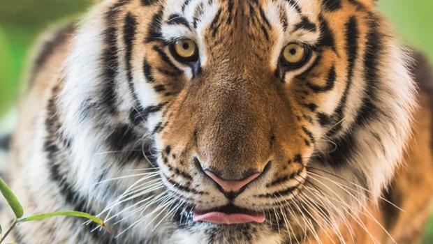 Tiger Nahaufnahme Erlebnis-Zoo Hannover