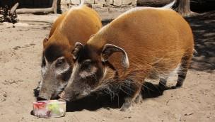 Eiskalt erfrischt: Tierischer Sommerspaß mit Eistorten im Erlebnis-Zoo Hannover