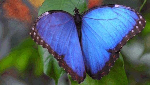 Alaris Schmetterlingspark Blauer Falter