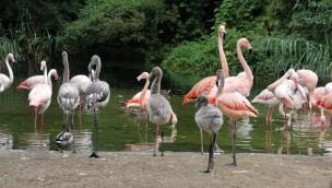 Erlebnis-Zoo Hannover: Zwölf Flamingo-Küken im Sommer 2018 geschlüpft