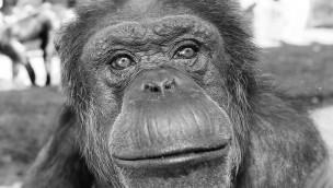 """Erlebnis-Zoo Hannover trauert um Schimpansen-Weibchen: """"Jeany"""" gestorben"""