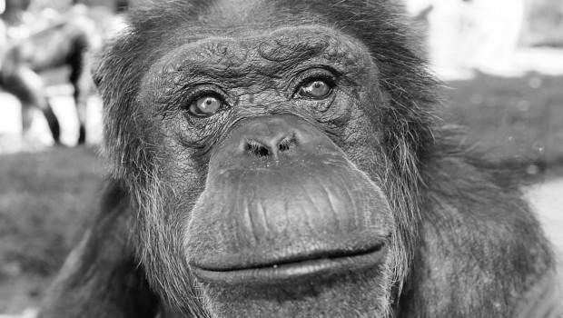 Erlebnis-Zoo Hannover Jeany Schimpanse tot gestorben