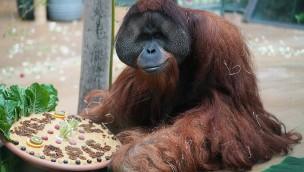 """Erlebnis-Zoo Hannover verabschiedet letzten Orang-Utan """"Jambi"""""""