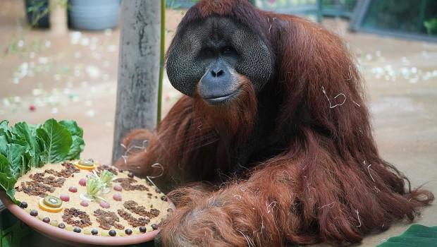 Erlebnis-Zoo Hannover Sumatra Orang Utan Jambi nach New Orleans