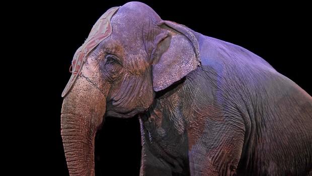 Ein Zirkuselefant, den der Safaripark Knuthenborg aufnehmen will