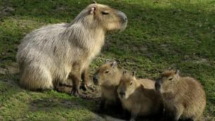 koelner-zoo-capybaras