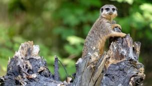 Erdmännchen im Serengeti-Park: Neue Tierart in Hodenhagen eingezogen