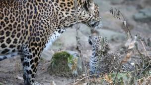 Video: Sri-Lanka-Leopardenwelpen in Burgers' Zoo erstmals im Außengehege
