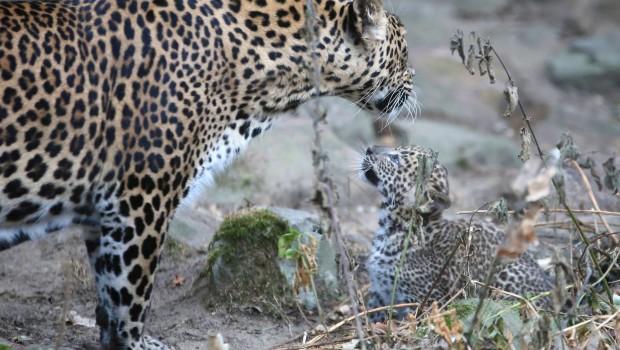 Sri Lanka Panter Welpen Burgers' Zoo Außengehege