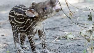 Tapir-Baby im Jaderpark geboren: Namenssuche für Jungtier 2018 startet