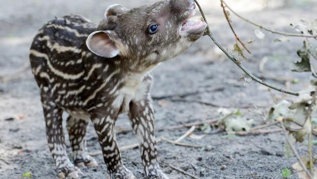 Tapir-Baby im Jaderpark 2018