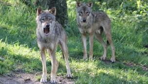 Wildpark-MV veranstaltet Wolfswanderungen in der Dämmerung im September 2018