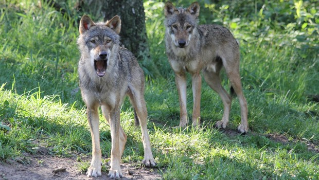 Wölfe im Wildpark MV