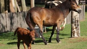 Martha verzaubert alle: Nachwuchs beim Harzer Rotvieh auf Meyers Hof im Erlebnis-Zoo Hannover