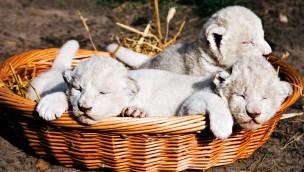 3 Weiße Löwenbabys im Tier- und Freizeitpark Thüle im Herbst 2018