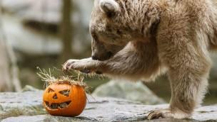 eisbaer-mit-halloween-kuerbis-allwetterzoo-muenster