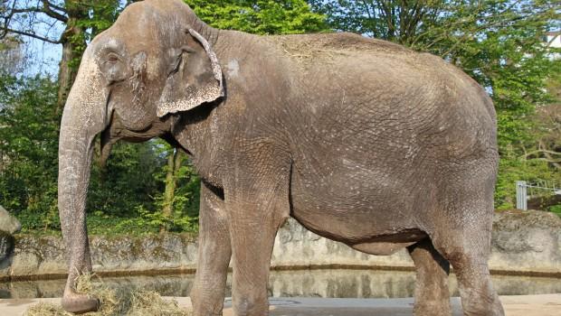 Karlsruher Zoo Lina Elefant gestorben tod