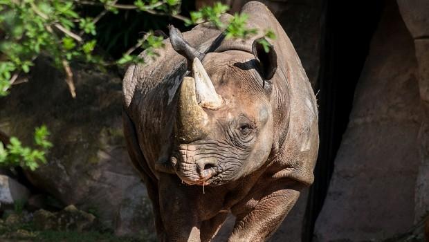 Spitzmaul-Nashorn Sany im Erlebnis-Zoo hannover