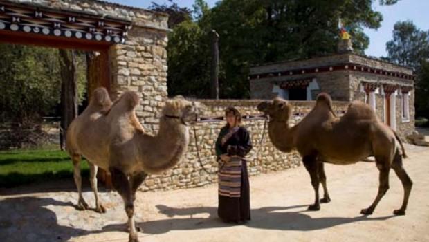 Tierpark Görlitz Kamele