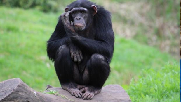 Zoo Osnabrück Schimpanse Amelie