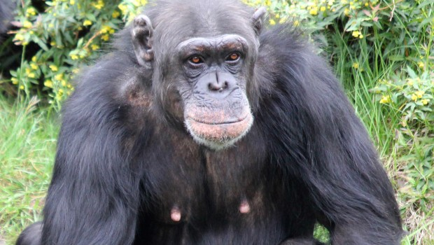 Zoo Osnabrück Schimpanse Buba