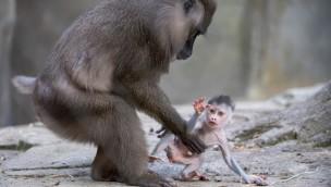 """Tierpark Hellabrunn: Drill-Baby """"Shari"""" ist Artenschutzbotschafterin für in-situ-Projekt"""