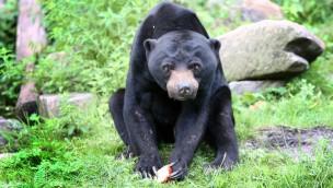 Burgers' Zoo erwartet Malaienbär aus Schottland: Hoffnung auf Nachwuchs