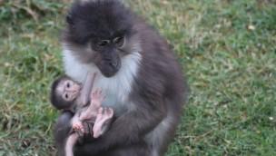 Zoo Osnabrück freut sich über Nachwuchs bei stark bedrohten Weißscheitelmangaben