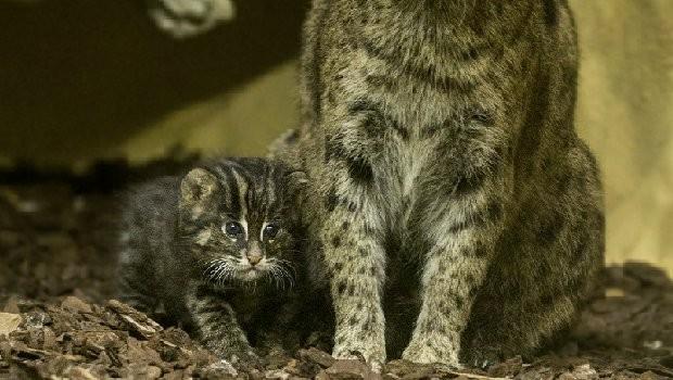 Tierpark Hellabrunn Fischkatze Nachwuchs
