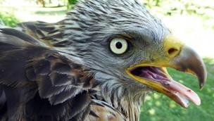 Artenschutzzentrum des Tierpark Hellabrunn zeigt Ausstellung zum Rotmilan bis Februar 2019