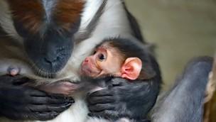 Rotscheitelmangaben im Zoo Karlsruhe mit Jungtier: Erfolgreiche Zucht der Affenart