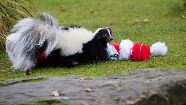 Stinktier - Weihnachten - Erlebnis-Zoo Hannover