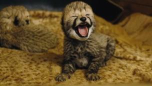 Baby Gepard im Zoo Safaripark Stukenbrock 2019