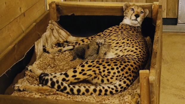 Geparden Nachwuchs Zoo Safaripark Stukenbrock